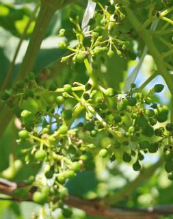 Grape Set Starlight crop